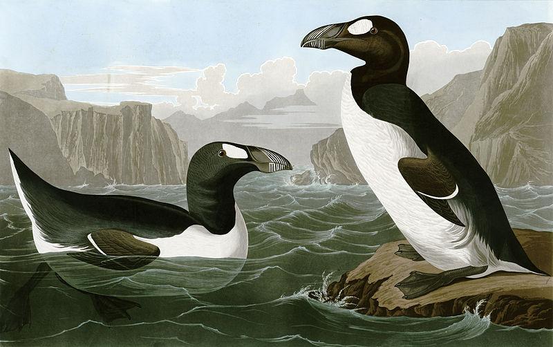 pinguinus Impennus