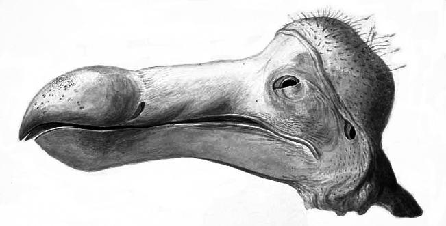 Dodo_head