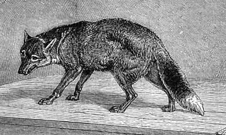 Antarctic_Wolf