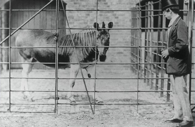 Quagga_London_Zoo