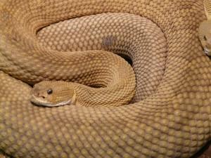 basilisk-rattlesnake-7303_1280