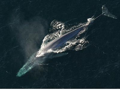 Blue Whale - Giant Sea Creatures - 400px x 300px