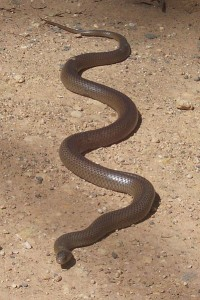 Eastern_Brown_Snake_-_Kempsey_NSW