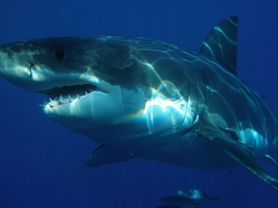 Great White Shark - Giant Sea Creatures - 400px x 300px