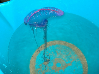 Portuguese Man o War - Giant Sea Creatures - 400px x 300px