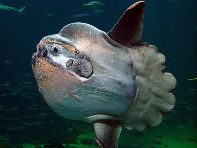 Sunfish - Giant Sea Creatures - 400px x 300px