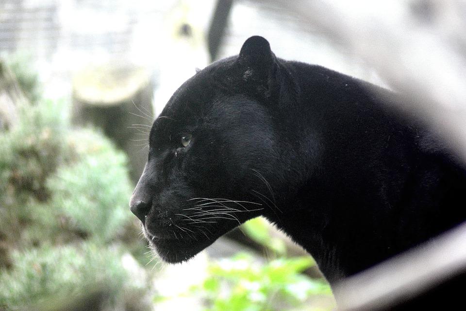 panther-448975_960_720
