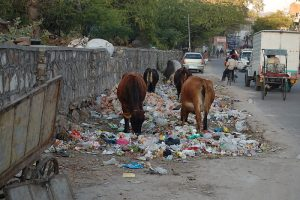 Jaipur_cows_eating_trash Most polluted Cities in the world