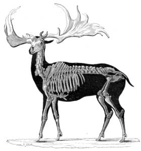 Megaloceros_1856
