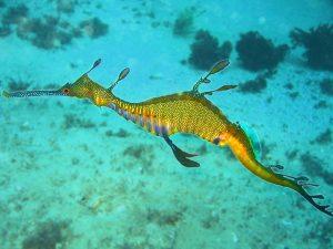 800px-Phyllopteryx_taeniolatus1 strange sea creatures