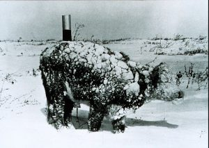 Young_steer_after_blizzard_-_NOAA