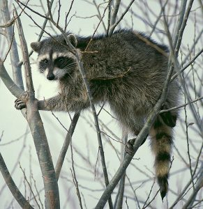 582px-Raccoon_climbing_in_tree_-_Cropped_and_color_corrected smartest animals