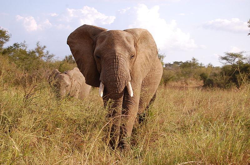 800px-Kruger_Elephant