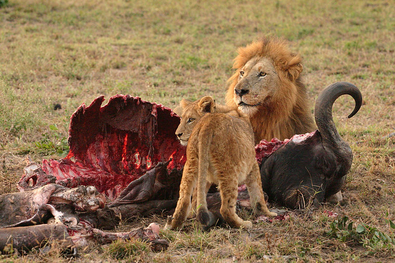 800px-Male_Lion_and_Cub_Chitwa_South_Africa_Luca_Galuzzi_2004 world's deadliest animals