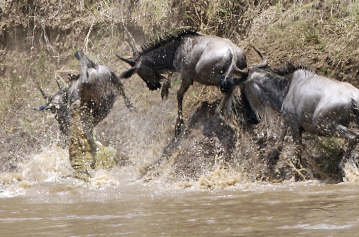 Crocodile_attack_during_Mara_River_crossing_-_frame_1_-_Flickr_-_Lip_Kee world's deadliest animals