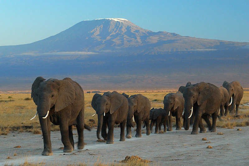 Elephants_at_Amboseli_national_park_against_Mount_Kilimanjaro smartest animals