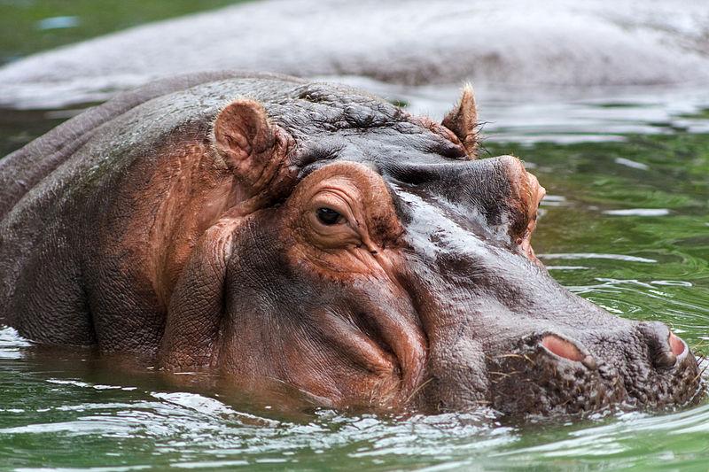 Hippo_memphis.jpg world's deadliest animals