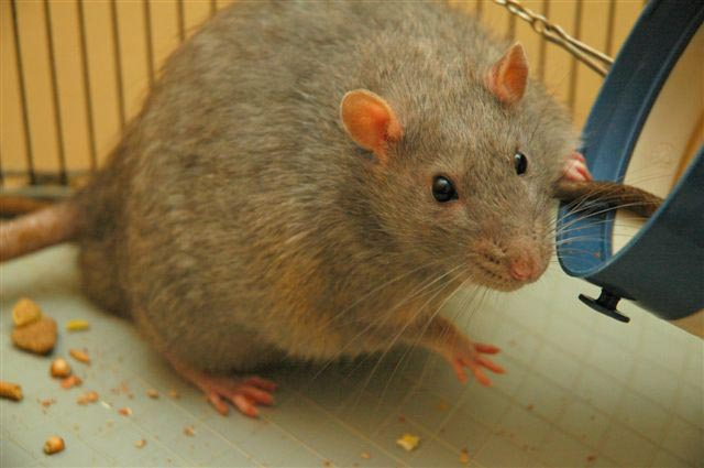 Rat_diabetic smartest animals