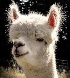 alpaca-985837_1920