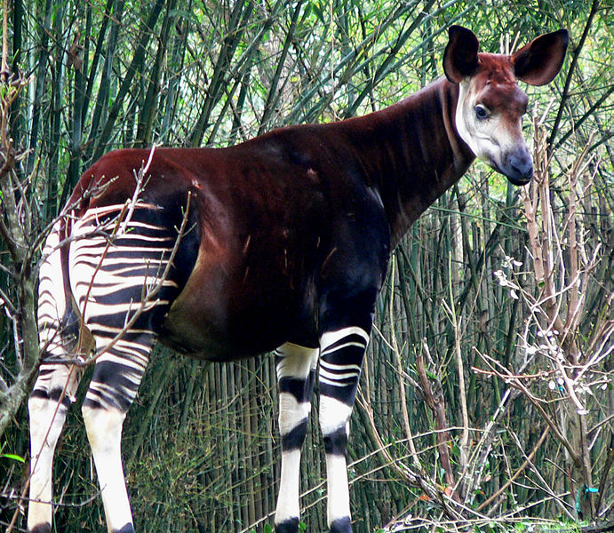 Rarest Animals -okapi2