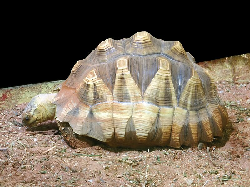 Rarest Animals -astrochelys_yniphora