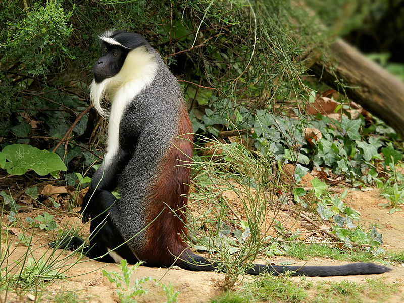 rarest animals-cercopithecus_roloway