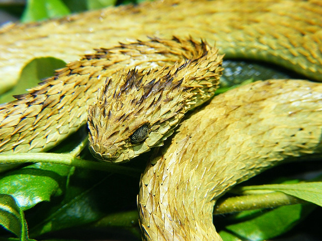 atheris_hispida