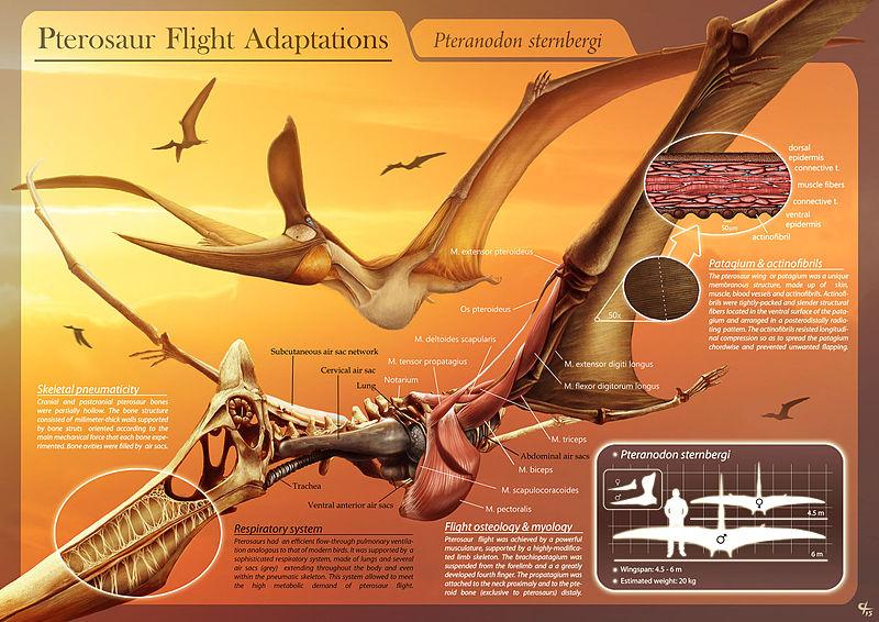 pterosaur_flight_adaptations_-_pteranodon_sternbergi_-_hugo_salais_lopez