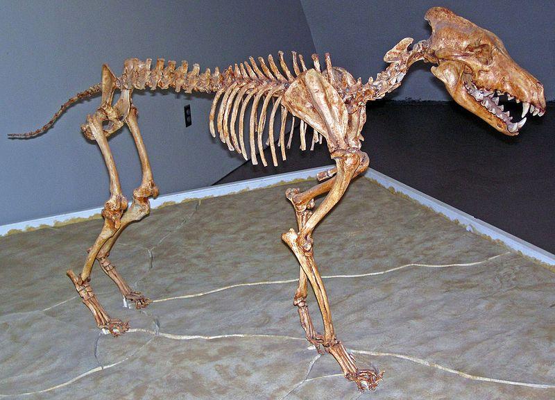Canis_dirus_Sternberg_Museum