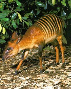 strange animals Cephalophus_zebra