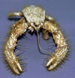 strange animals Yeti_crab
