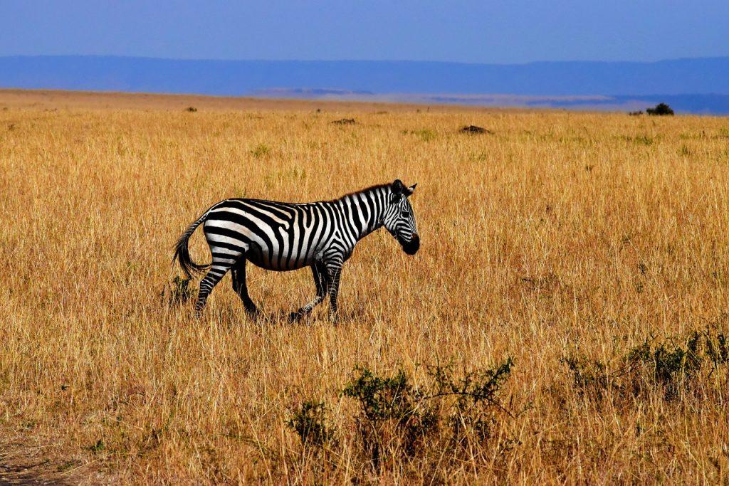 Africa Tanzania Zebra Wildlife Savannah
