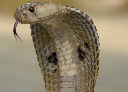 egyptian mythology Indiancobra
