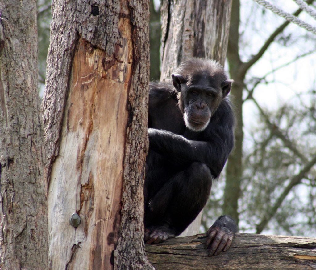 chimpanzee-1237173_1920