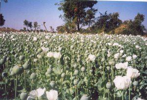 Macedonia Opium