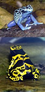 291px-Blue-poison.dart.frog.and.Yellow-banded.dart.frog.arp