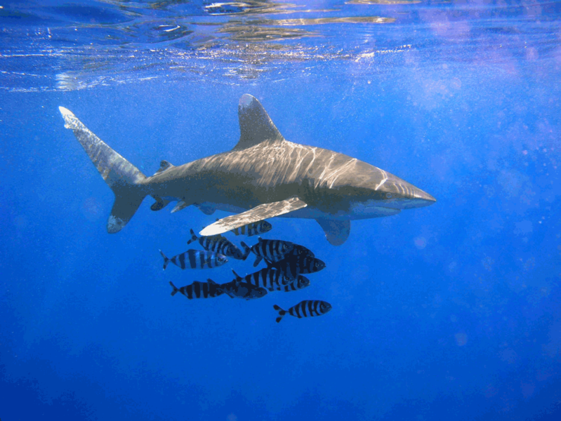 dangerous sharks-Oceanic_Whitetip_Shark