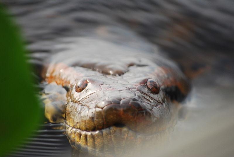 Anaconda_al_acecho