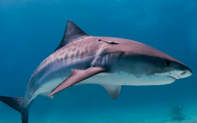 8 Most Dangerous Sharks Known To Man