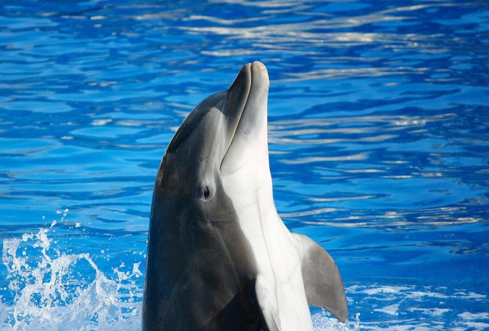 bottlenose-dolphin-58393_960_720