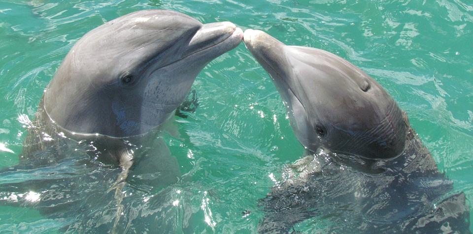 dolphin-1974975_960_720