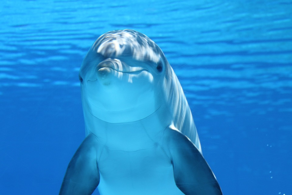 dolphin facts -203875_960_720