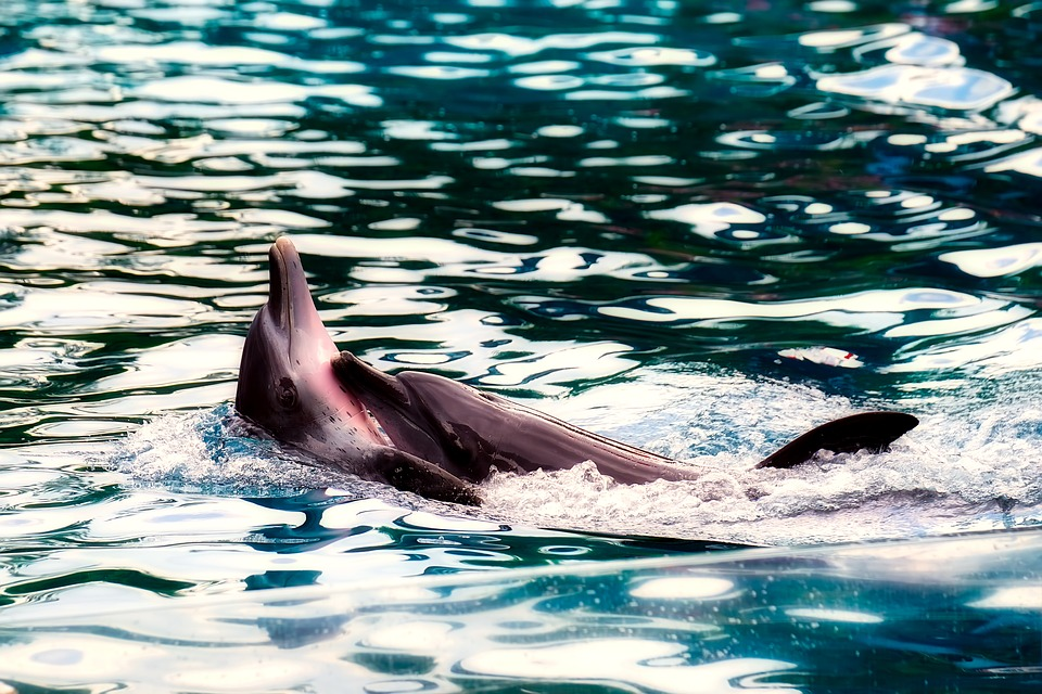 dolphin-2650557_960_720