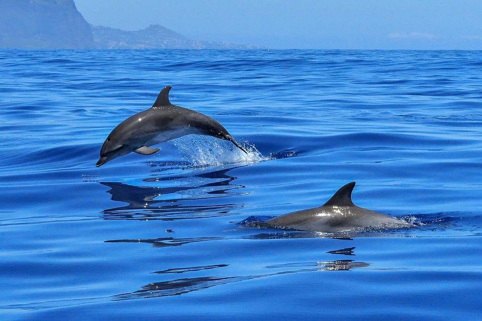 dolphin-2691864_960_720