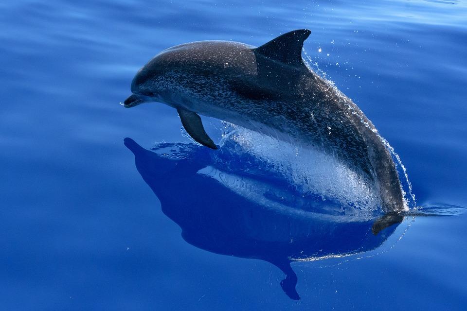 dolphin-2709809_960_720
