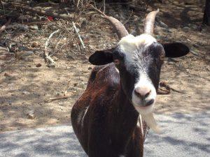 goat war