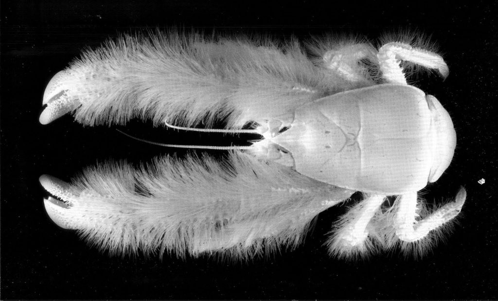 The mysterious yeti crab